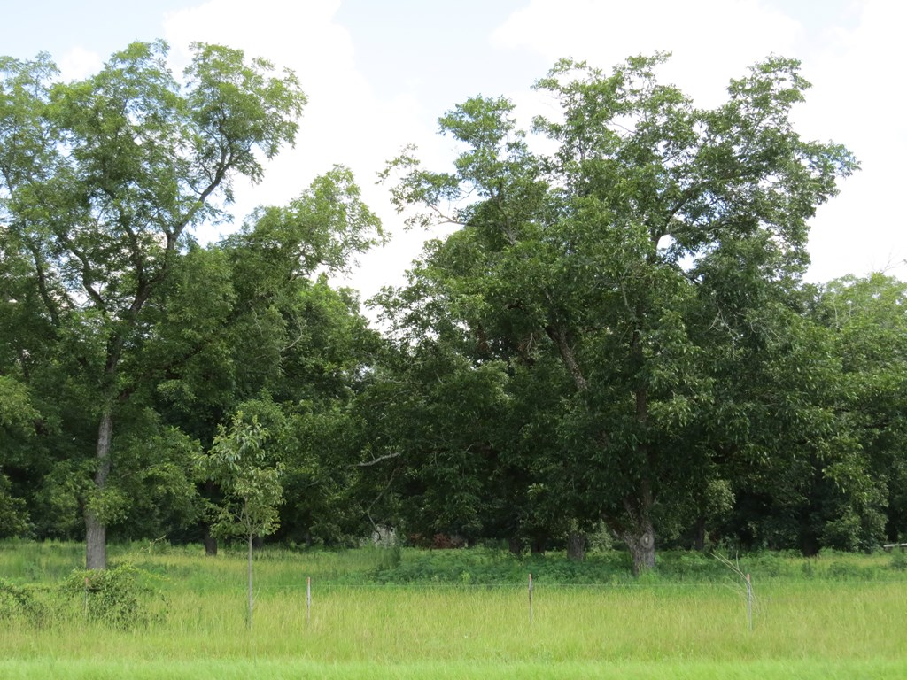 Pecan Orchard